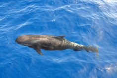 Pilot whale in New Zealand.