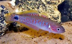 peacock goby/gudgeon