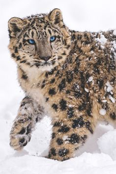 One of the most intriguing beautiful animals on Earth! Snow Leopard in Himalayas. Big Cats, Crazy Cats, Cool Cats, Cats And Kittens, Animals And Pets, Baby Animals, Funny Animals, Cute Animals, Wild Animals