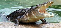 nice Afrikaanse Krokodil Grappe Lekker kort Krokodil grappe in Afrikaans. http://www.sapromo.com/afrikaanse-krokodil-grappe/5654