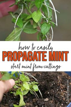 Learn how you can easily propagate mint. Just take a cutting of mint from another plant and grow your own plant from that stem. This is a super easy garden project! Growing Herbs In Pots, Growing Mint, Mint Plants, Garden Projects, Garden Ideas, Herbs Indoors, Easy Garden, Grow Your Own, Propagation
