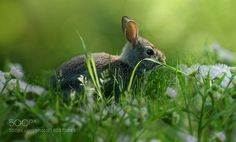 Rabbit by ikord #animals #animal #pet #pets #animales #animallovers #photooftheday #amazing #picoftheday