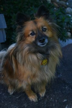 German Spitz #Dogs