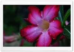 Desert Rose HD Wide Wallpaper for Widescreen