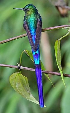 With its glowing violet tail, the Violet-tailed Sylph is certainly one of the best looking hummingbirds in Ecuador
