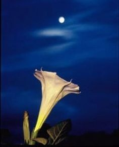 Moon Flower - These flowers begin to open as the sun goes down and they have the most amazing fragrance. By morning they are gone.