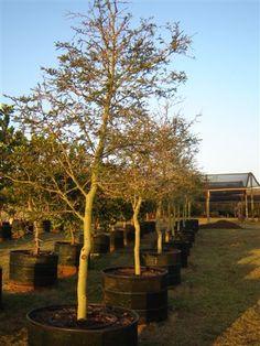 Acacia xanthophloea - Fever Tree