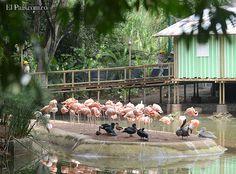 Una colonia de 64 flamencos, varios de ellos bebés y juveniles, llegaron al Zoológico de Cali para hacer parte del nuevo proyecto llamado Jaziquima, una exhibición que simula una vereda de aproximadamente mil metros cuadrados en medio de la selva. Este espacio contará con seis especies de primates colombianos y será inaugurado el 20 de junio de este año.