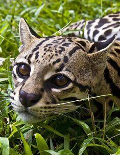 beautiful-wildlife:  Wild OcelotbyHeiko Koehrer-Wagner