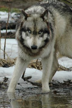 She wolf! My Spirit Animal Animal! Beautiful Creatures, Animals Beautiful, Cute Animals, Wild Animals, Baby Animals, Wolf Spirit, My Spirit Animal, Wolf Pictures, Animal Pictures