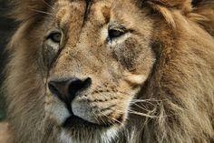 Lion Portrait by Dan Sproul