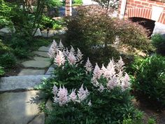 Palest pink astilbe looks so beautiful with the dwarf red maple