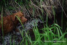 Going Going Gone~Monday Mischief   Sand Spring Chesapeakes