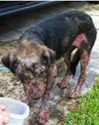 Apologize for somewhat graphic photo>>Please help Laz fight for his life. | Medical Expenses - YouCaring.com Laz is in a hospital fighting for his life. He was found stumbling/collapsing on a road In the Homestead, Fl area. He was starving, dehydrated, covered with bleeding open wounds, pustular blisters all over his poor boney body. He has a long road ahead of him for healing. His doctors say he is critical   Laz needs your prayers.