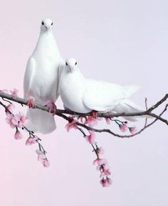 ♥ Beautiful doves, symbols of peace and love!