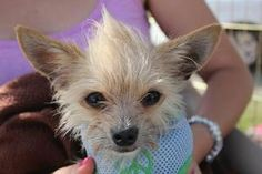 Penny is an adoptable Toy Fox Terrier Dog in Los Angeles, CA. � Meet sweet Penny. �This baby girl was found cowering underneath a car in downtown LA. �Covered in fleas and positively emaciated, she ca...
