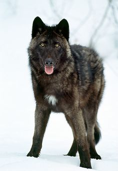 Portrait Of Black Wolf Standing On Snow by Tom & Pat Leeson