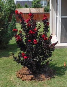 Black Diamond Crape Myrtle with red flowers. Installed by Treeland Nursery. Crepe Myrtle Landscaping, Farm Landscaping, Landscaping Borders, Lawn And Landscape, Flower Landscape, Landscape Design, Garden Trees, Lawn And Garden, Garden Art
