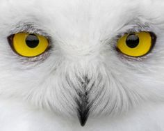 Snowy Owl (Bubo scandiacus), the only owl to be found in the Arctic circle.