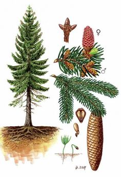 Ke stažení - Vojenské lesy a statky dětem Botanical Drawings, Botanical Art, Plant Illustration, Botanical Illustration, Pine Tree Art, Picea Abies, Watercolor Christmas Tree, Nature Sketch, Forest School