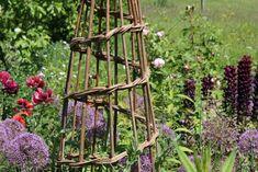 Sweet peas scrambling up hazel wigwam structures in the cutting garden  Allt-y-Bela