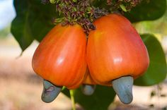 Cashew: Anacardium occidentale - Flickr - Photo Sharing!