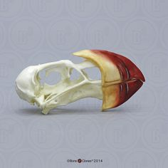 Horned Puffin Skull - Bone Clones, Inc. - Osteological Reproductions