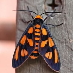 Tiger Moth, family Arctiidae | by ipost4u (Chris)