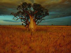 A Boab Tree Lámina fotográfica