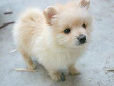 Cute Pomeranian dog photo and wallpaper. Beautiful Cute Pomeranian ...
