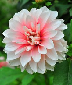 Dahlia. There are at least 36 species of dahlia, with hybrids commonly grown as garden plants. Flower forms are variable.    ..z