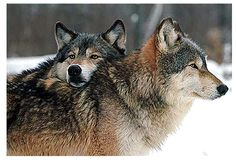 Lee Charles Kelley: Do Dogs and Wolves Form Dominance Hierarchies?