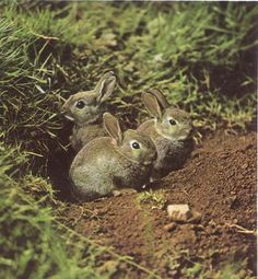 Young, wild rabbits.