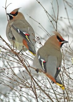Bohemian Waxwing enjoys a cold winter afternoon perched on a wooden fence. Description from pinterest.com. I searched for this on bing.com/images