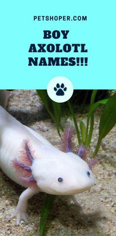 Cute axolotl names Axolotl Care, Axolotl Pet, Classroom Pets, Aesthetic Names, Unisex Name, Cute Reptiles, Famous Names, Cute Names, Types Of Fish