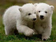 de dos osos
