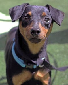 Meet Austin, a Petfinder adoptable Miniature Pinscher Dog   Mount Gretna, PA   My name is Austin Healy and I am a 2.5 yr old old Minpin. I am so very scared right now because I...
