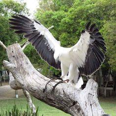 a rare Albino Bald Eagle