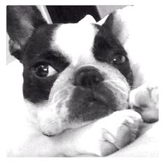 """""""You know I'm ignoring you on purpose...right?"""", French Bulldog ❤"""