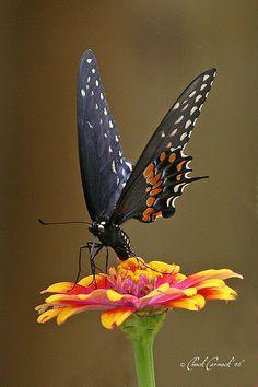 Black Swallowtail on Zowie Yellow Flame Zinnia