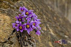 <<동강 할미꽃>> 올해로 8회째 맞이하는 동강 할미꽃 축제가 지난 3월 28일부터 31일까지 정선군 정선읍 동강로에서 다채로운 프로그램과 함께 열렸다. 동강 할미꽃은 동강변을 따라서 바위틈에 뿌리를 내려 자생하는 동강 고유의 자생종이다. 특히 보통의 할미꽃은 꽃을 피우기 위해 꽃잎이 땅으로 향하는데 동강 할미꽃은 석회암지대에서 자란 탓인지 꽃잎이 하늘로 향하면서 건재함을 과시하는 모습이다. 몇 년 전에는 일부 시민들이 바위틈에서 자라는 동강 할미꽃을 캐어가 그 개체수가 급격히 줄어들었는데, 동강 할미꽃 보존회에서 인공적으로 번식된 동강 할미꽃을 심어 관광지의 면모를 갖추려고 많은 노력을 기울이고  있다. 강원도 정선군 정선읍 동강변에서  (뉴스바로 장덕수 기자  2014.4.10)