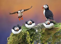 """Roosting puffins"" by Sabry Mason."