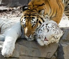 Tiger Colors: Why are Some Tigers White, but Most Orange? | Busch Gardens Tampa