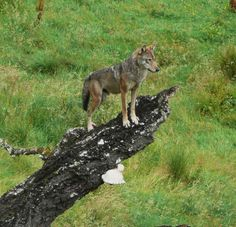 Wolf - Highland Wildlife Park, Cairngorms, Scotland, UK