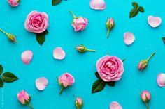 Rose background by Ruth Black - Rose, Flower - Stocksy United