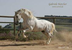 Galileo YQ, PRE. Photo: Gabriele Kärcher