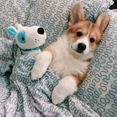 The corgi looks so comfy and that's all I can ask for Not my… - #dog