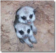 cute little meekat - baby meerkats