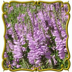 Physostegia virginiana (Obedient Plant) Wildflower Seed, Fall plant, will order in July or August. #Indiana #native #purple