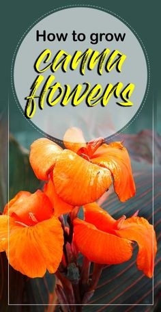 How to grow Cannas, Growing exotic tropical canna lily in pots, Cannas care, they are tropical, sub-tropical and perennial plants. Growing Orchids, Growing Flowers, Planting Flowers, Indoor Flowering Plants, Blooming Plants, Potted Plants, Design Thinking, Lily Plant Types, Cana Lily